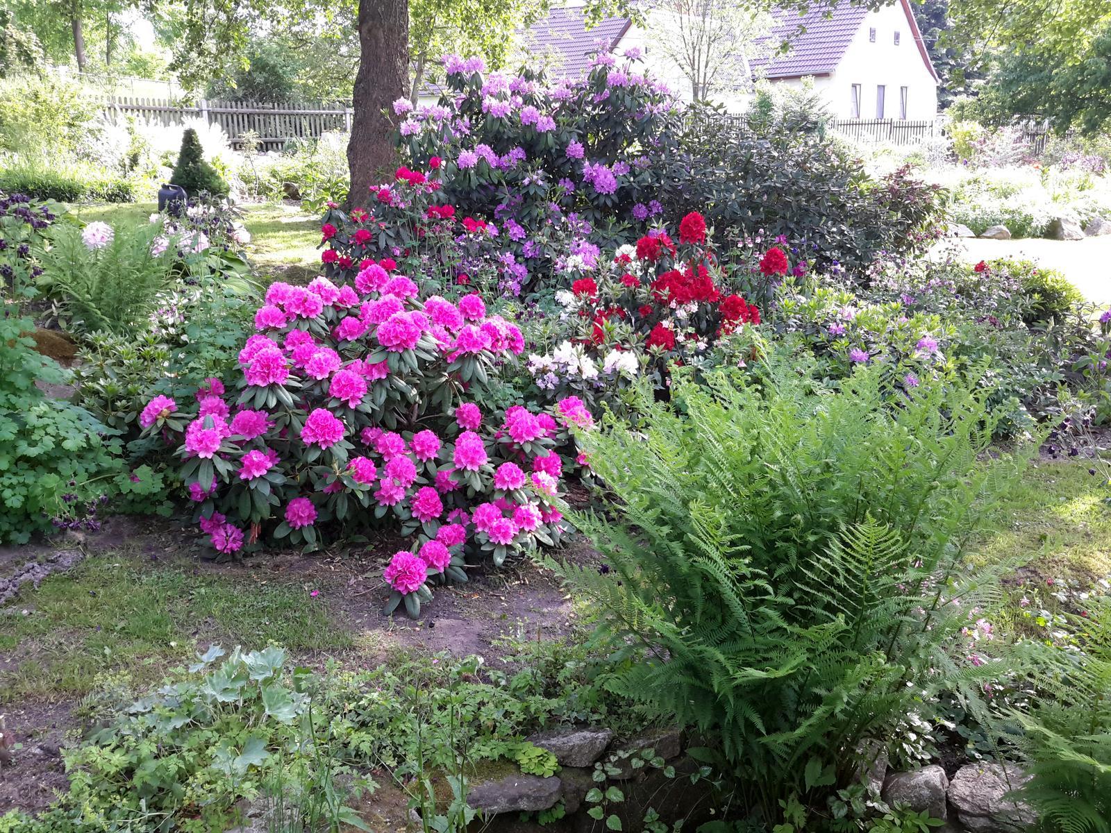 Jihočeská venkovská zahrada. - Rododendrony se představují.