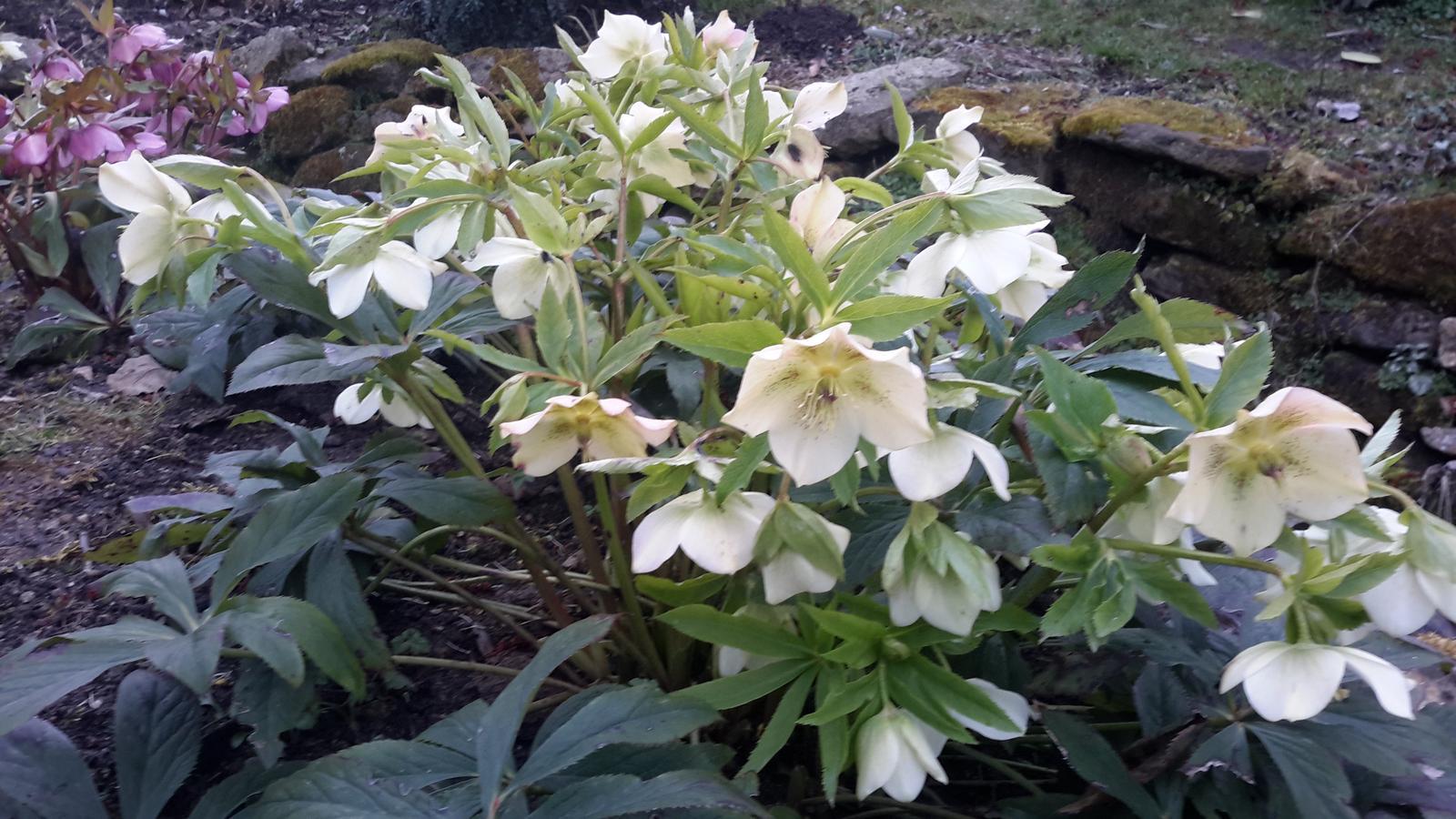 Jihočeská venkovská zahrada. - Čemeřice černá se jmenuje,přestože kvete bíle.