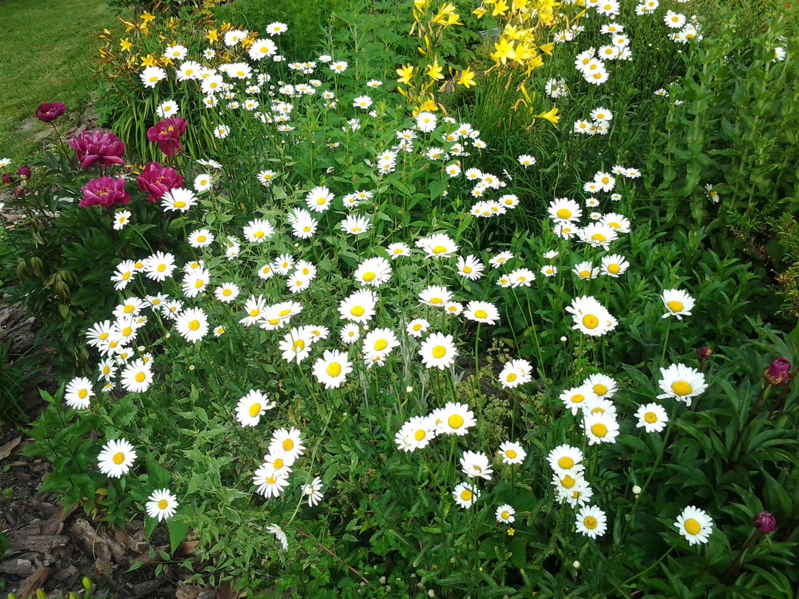 Jihočeská venkovská zahrada. - Skromné kopretiny nepotřebují péči,samy se derou k životu.