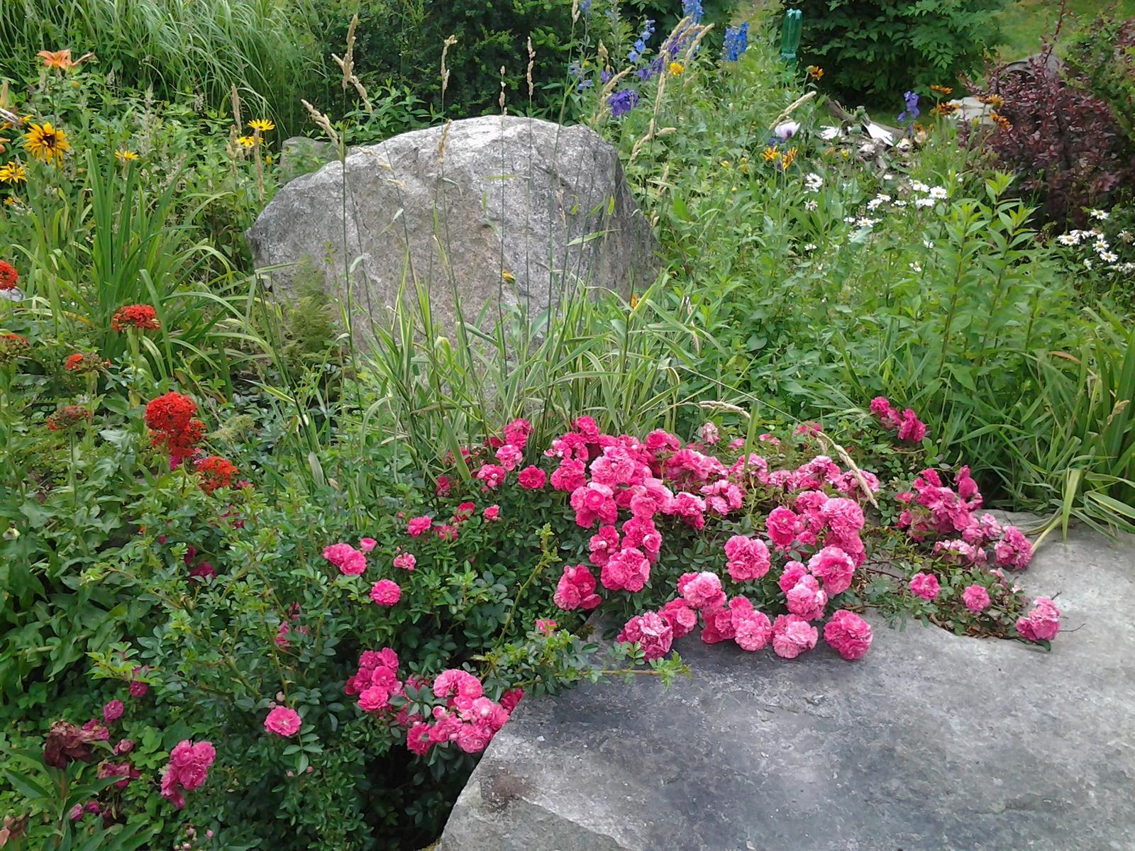 Jihočeská venkovská zahrada. - Pnoucí růže si s vyhřátým kamenem rozumí.