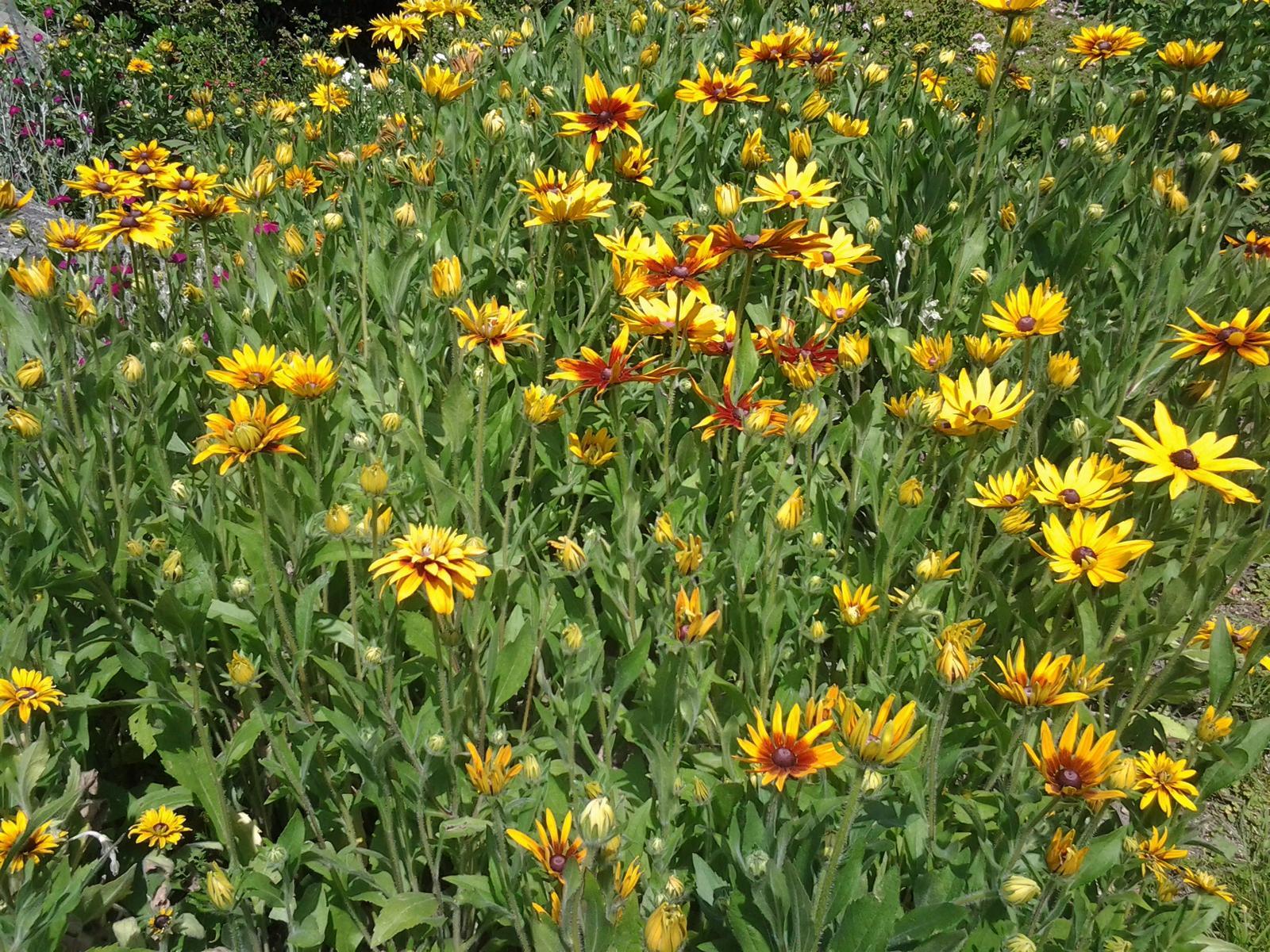 Jihočeská venkovská zahrada. - Třapatky žluté jsou velmi plodné,já bych je tak hustě vysadit nedokázala.Samy vysemeněné z rozlétaných semen.Obdivuhodná je tu ta druhová různorodost.