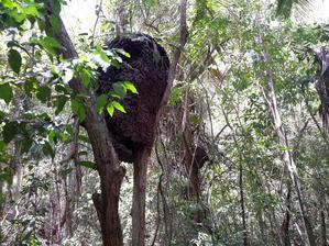 """Tady bydlí nepřátelé """"našeho Ferdy"""" termiti.Staví si svá hnízda na stromech ve výšce několika metrů."""