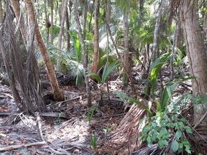Spadlé kokosy částečně zakořeňují.Koloběh přírody je i tady zachován.