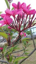 Krásný ač škodlivý hmyz na ještě krásnějším keři.