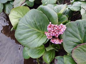 Bergenie v květu.