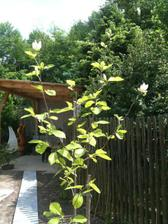 žlutá magnolie vykvítá až teď ke konci května..