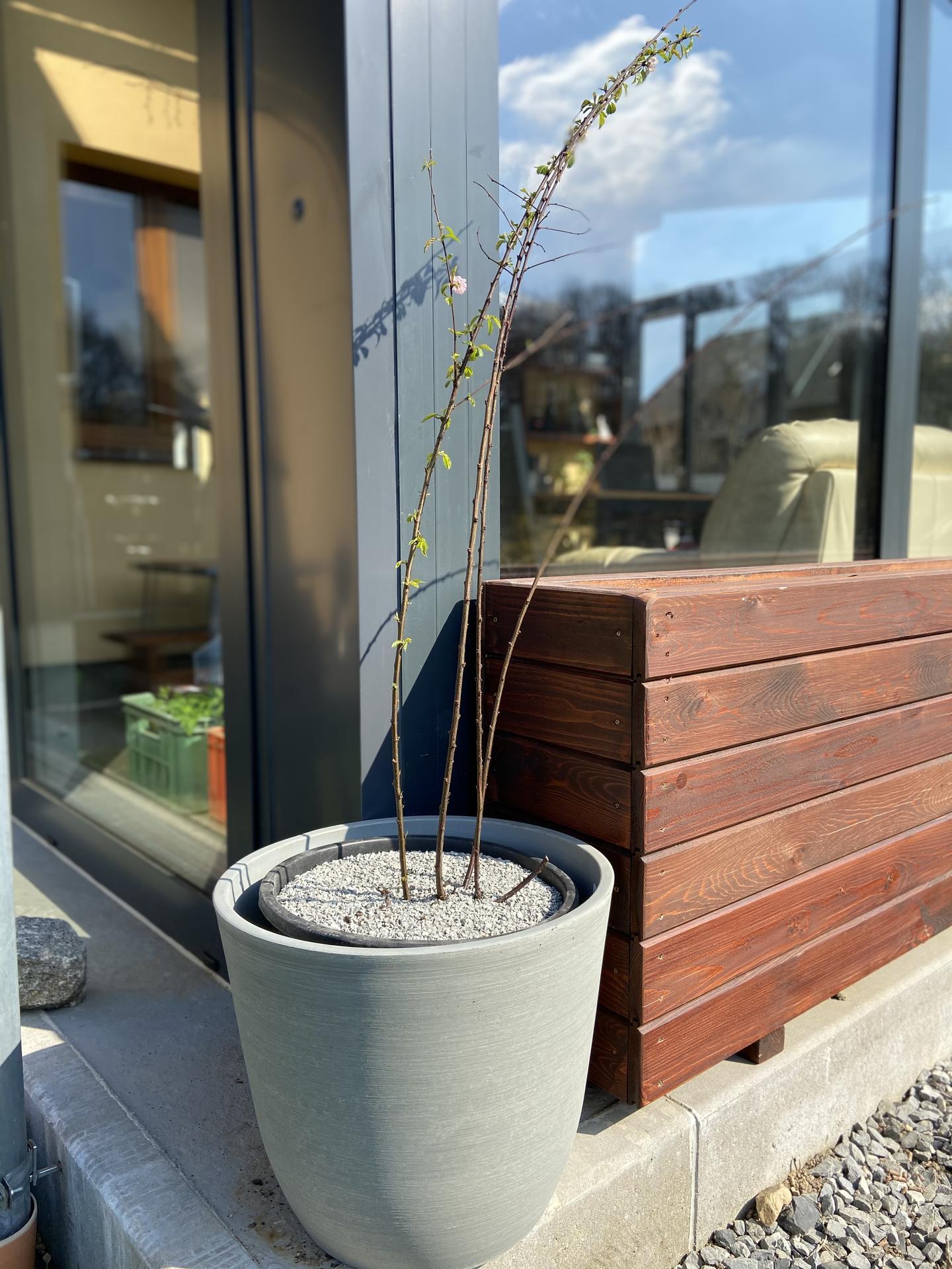 Pergola + zimní zahrada + zahrada - Mandloň trojlaločná
