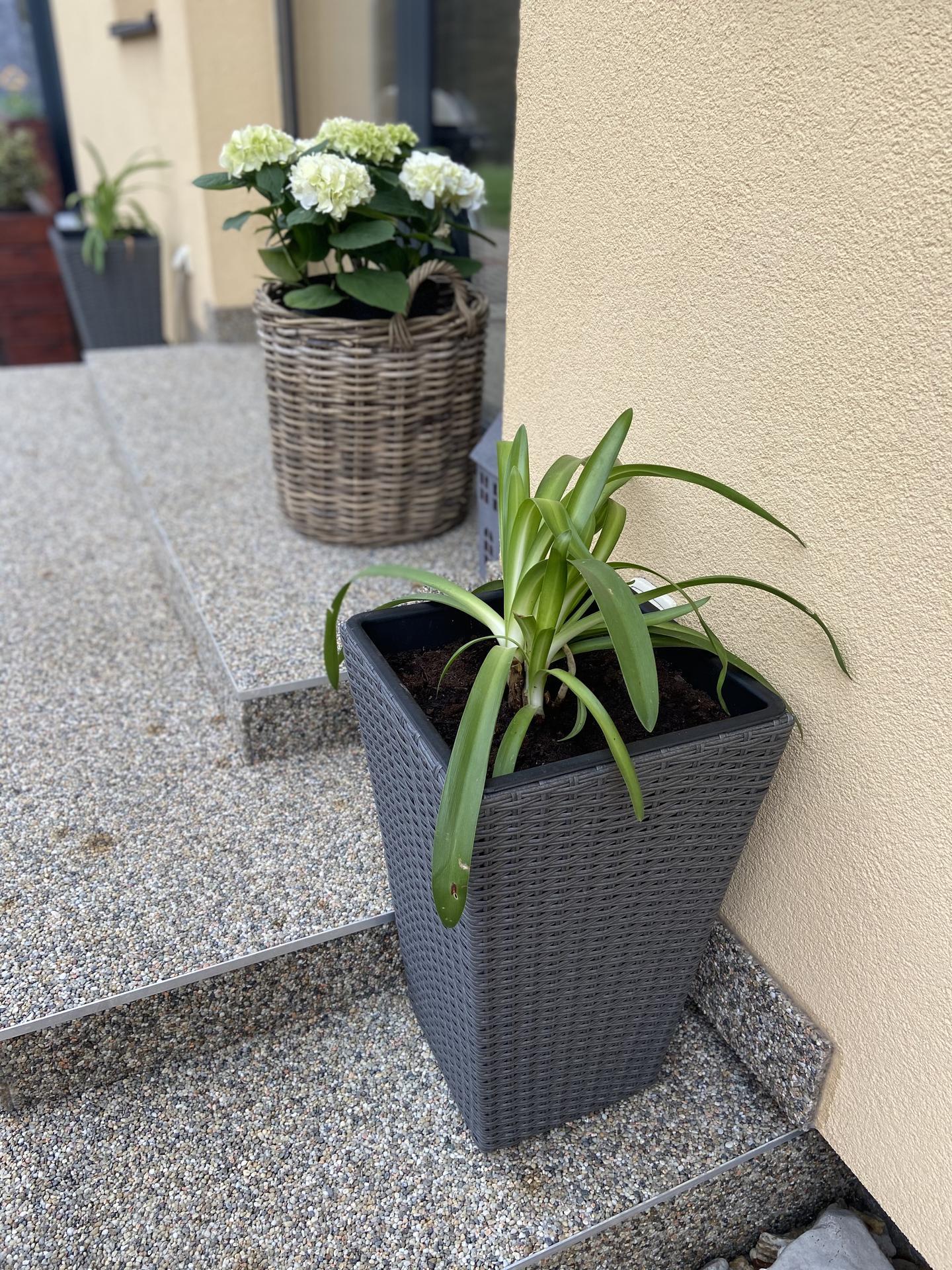 Pergola + zimní zahrada + zahrada - Už jsem sehnala kalokvět
