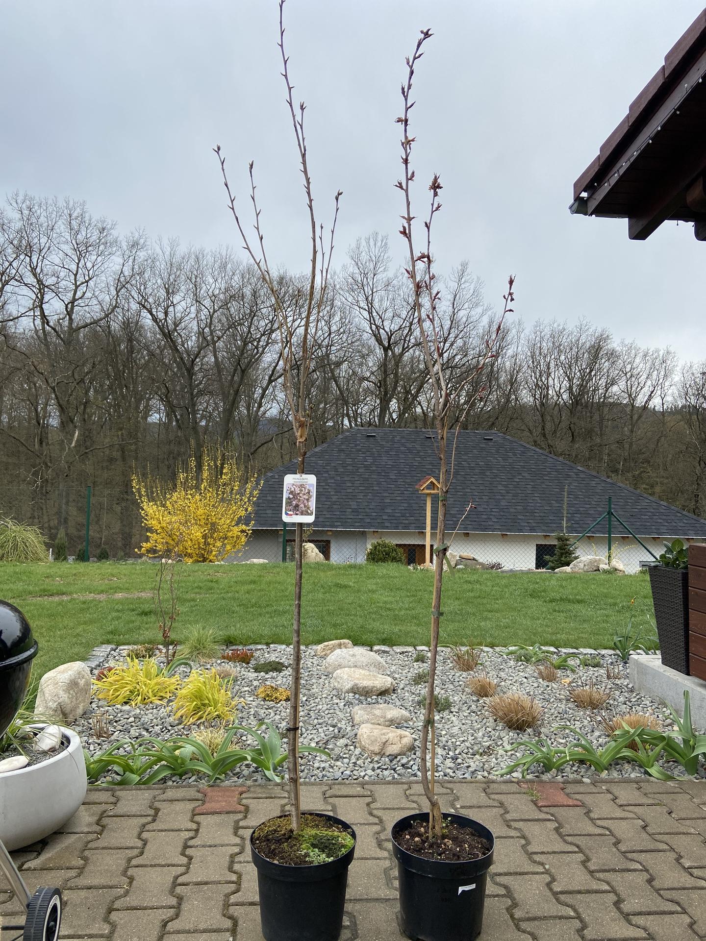 Pergola + zimní zahrada + zahrada - Obě prunusky