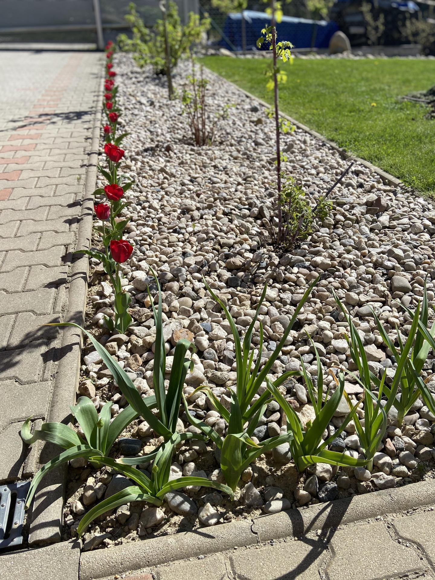 Pergola + zimní zahrada + zahrada - Tak konečně v plném květu.