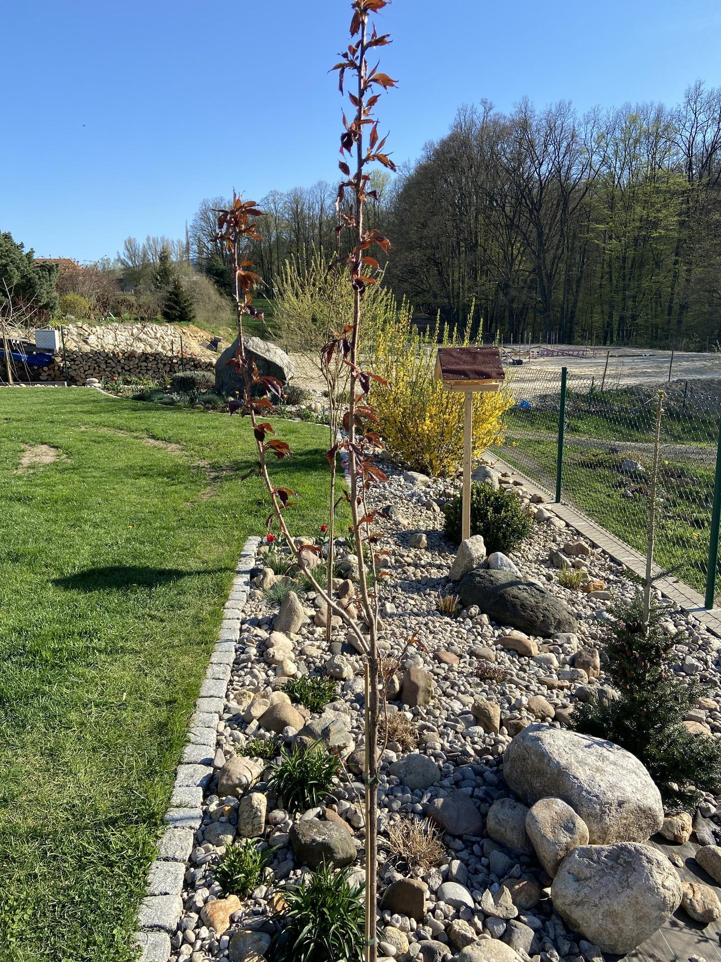 Pergola + zimní zahrada + zahrada - Zasazeny prunusky a dosypan kačírek. Ještě ho bude hodně potřeba