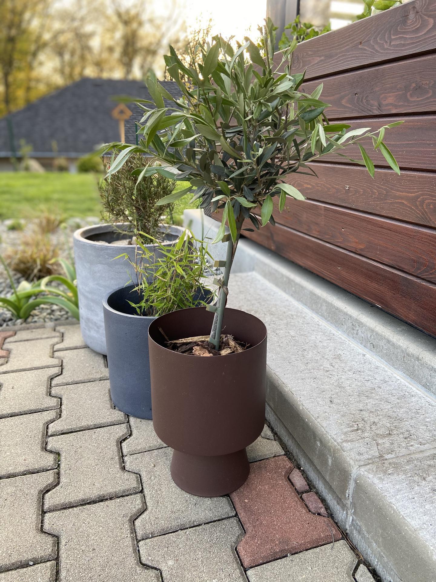 Pergola + zimní zahrada + zahrada - můj první olivovník, do budoucna bych chtěla další a větší, pokud se mu bude dařit