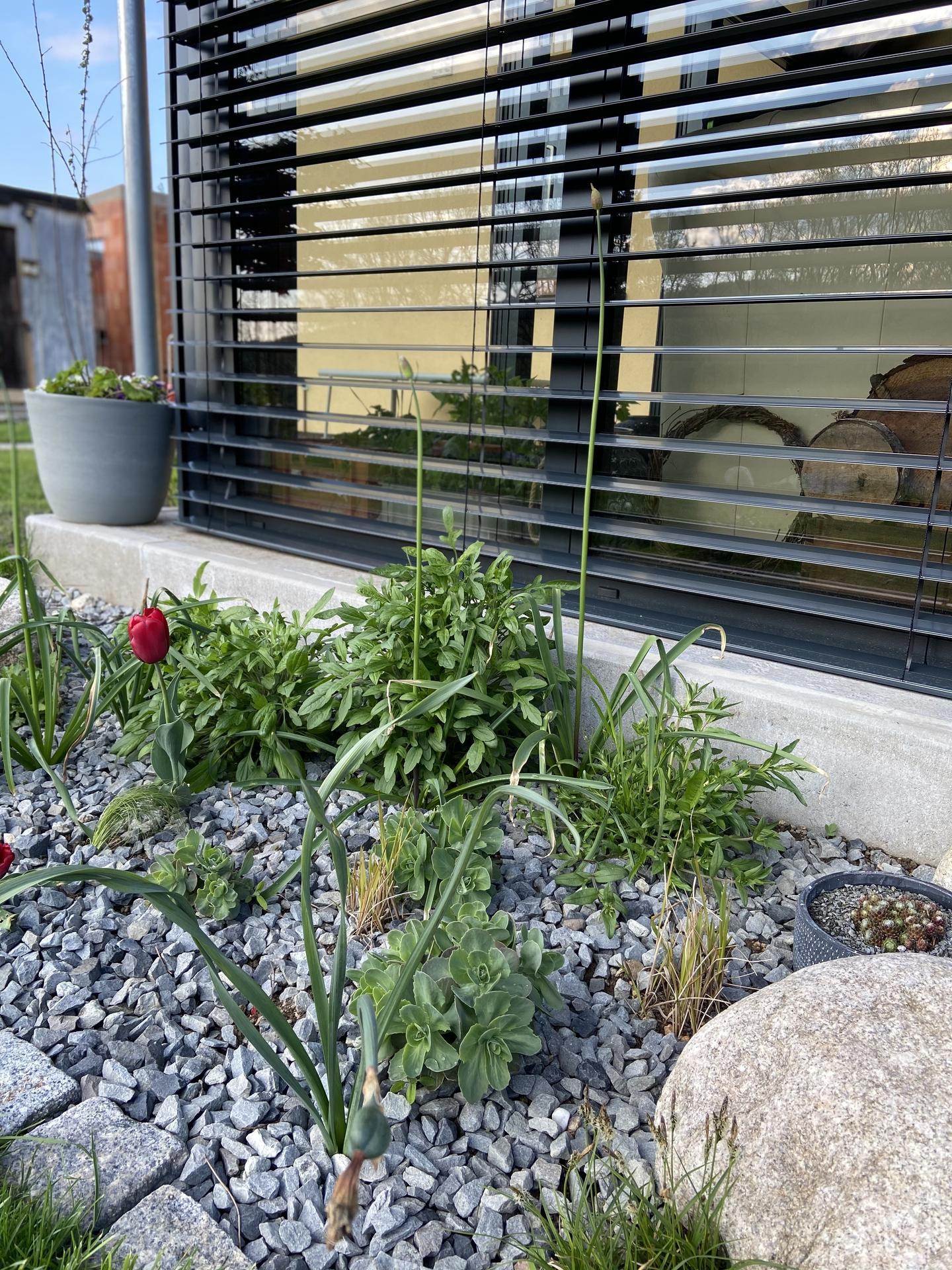 Pergola + zimní zahrada + zahrada - Vysoký česnek a čekám až pukne