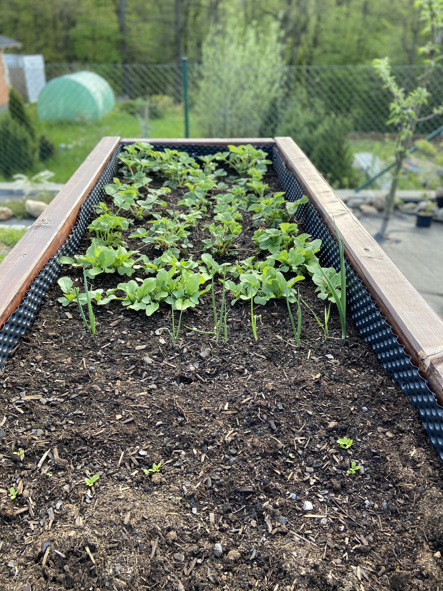 Pergola + zimní zahrada + zahrada - jahody jsem musela zredukovat, ale už pomalu kvetou
