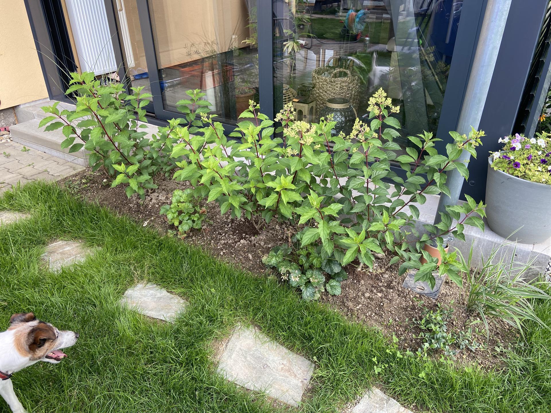 Pergola + zimní zahrada + zahrada - nové hortenzie v rozpuku