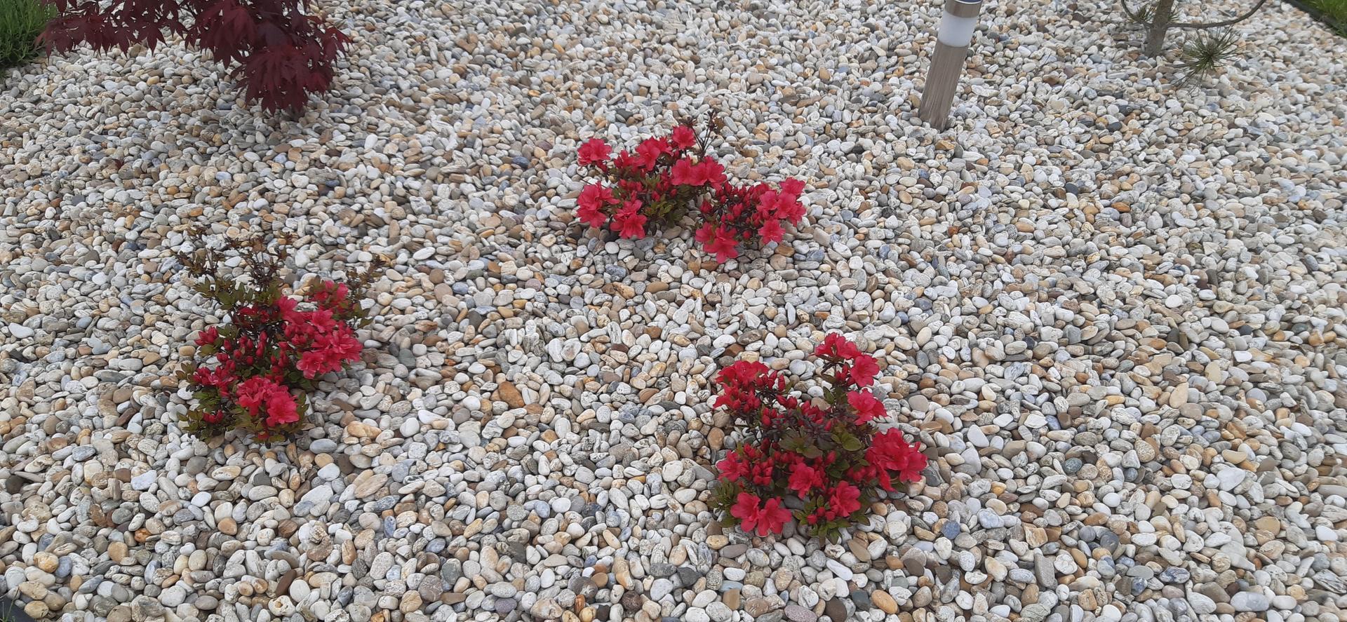 Zahrada 2021 - Líbí se mi kvetoucí azalky.