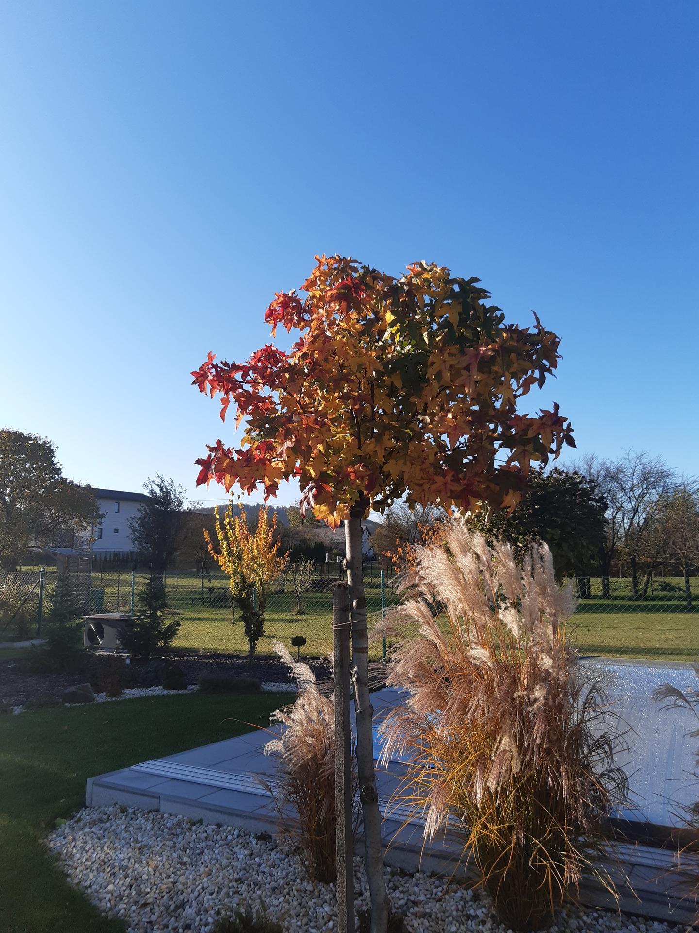 Zahrada 2021 - Ambroň v podzimních barvách