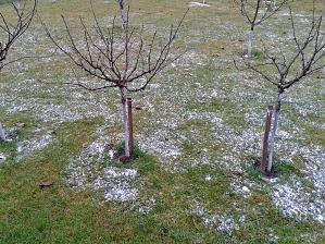 Stromčekové ríbezle