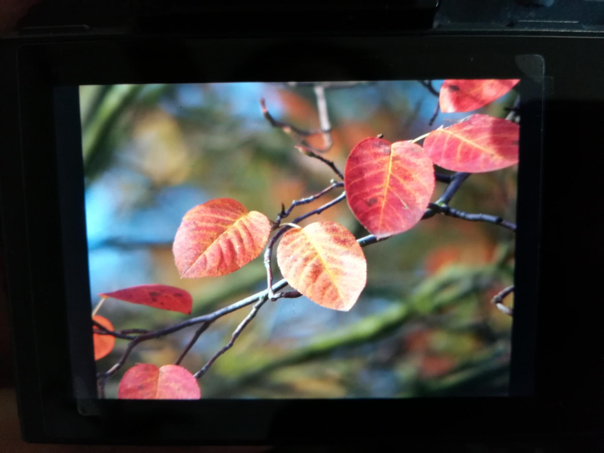 Muchovník - amelanchier lamarckii vícekmen... Máte někdo na zahradě? Kde sehnat cca 150cm, Pardubický kraj - Obrázek č. 2