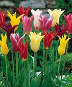 "Tulipa hybrida - ""Mix"" 5 ks,"