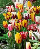 Tulipa hybrida - mix 5 ks ,