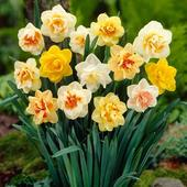 Narcissus hybridus - mix 5 ks,