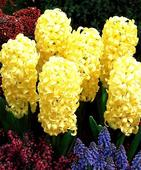 "Hyacinthus hybridus ""City of Haarlem"" 3 ks ,"