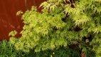 """Acer palmatum """"Seiryu"""" ,"""