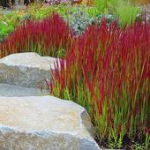 "Imperata ""Red Baron"" ,"