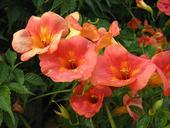 Campsis Grandiflora,