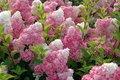 """Hydrangea paniculata """"Vanille Fraise"""","""