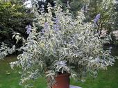"Caryopteris clandonensis ""White surprise"" ,"