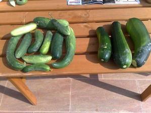 prva uroda - uhorky a cukiny