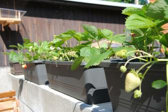 Pokus o pěstování stáleplodících jahod v truhlících :-)
