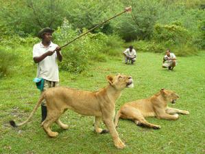 ...procházka se lvy, z toho mám trošku strach :-D