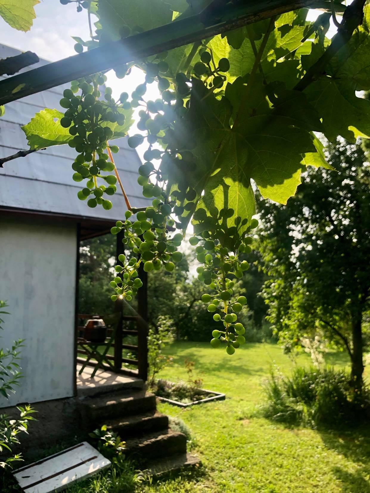 Chatička - Vypadá to že střih vínu prospěl a nějaká úroda snad bude :)