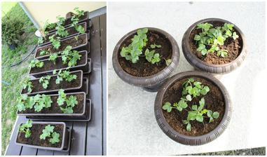 2013 - polovina dubna - zasazené muškáty a měsíční jahody