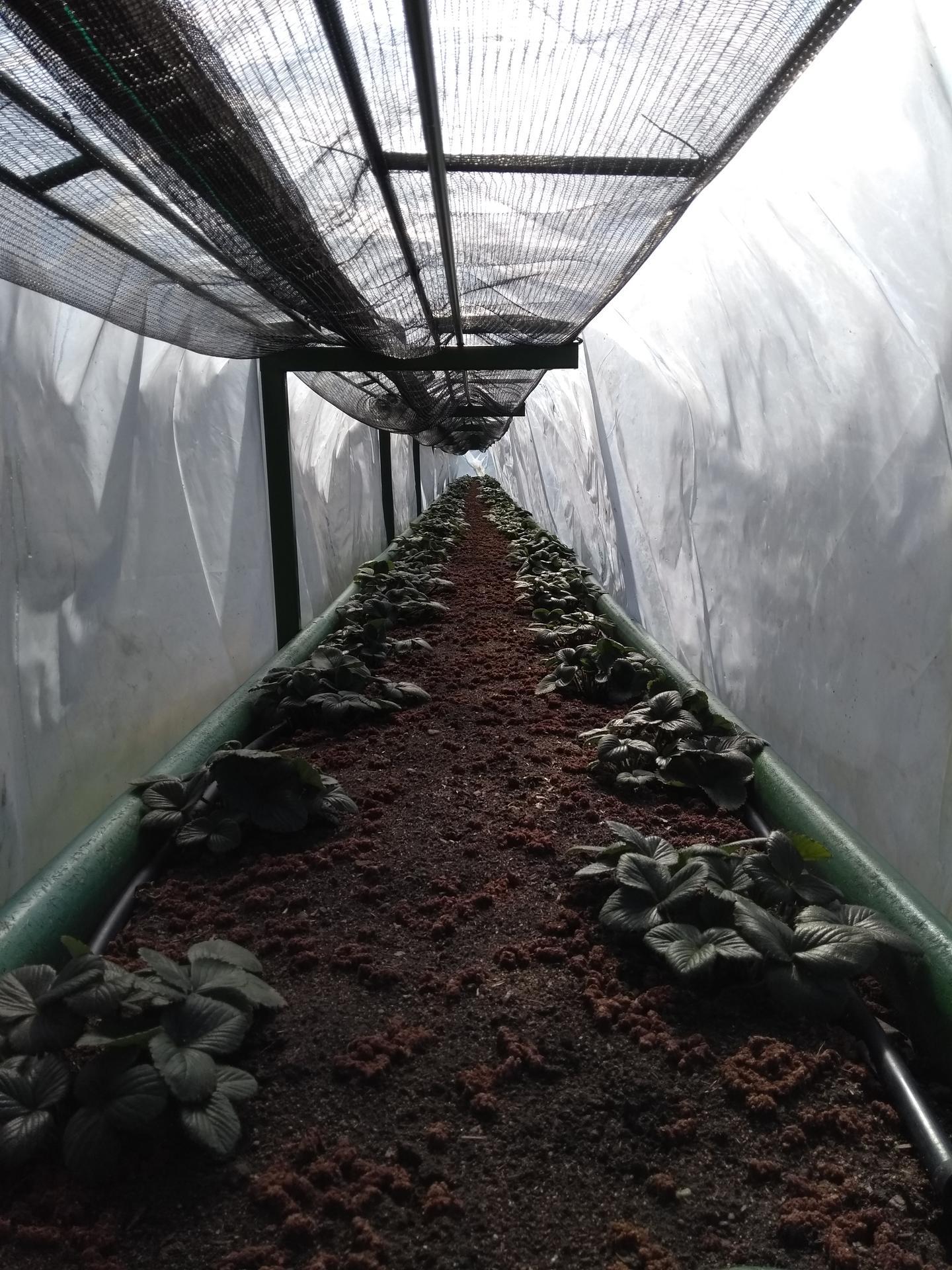 Ako som robil vyvysene jahodovisko - Ochrana jahôd pred zimnými a jarnými mrazmi ,sieť je sklopena ..