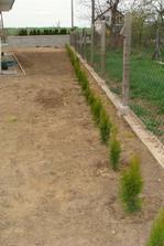 živý plot z tují