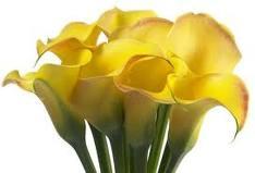 jedině kytku ze žlutých kal, jsou krásné
