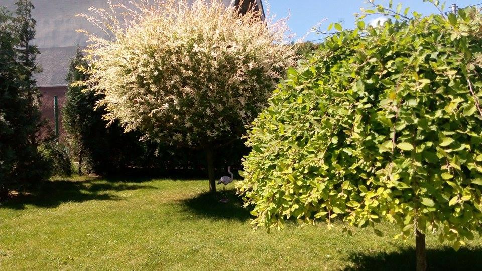 Naša záhrada - vŕba