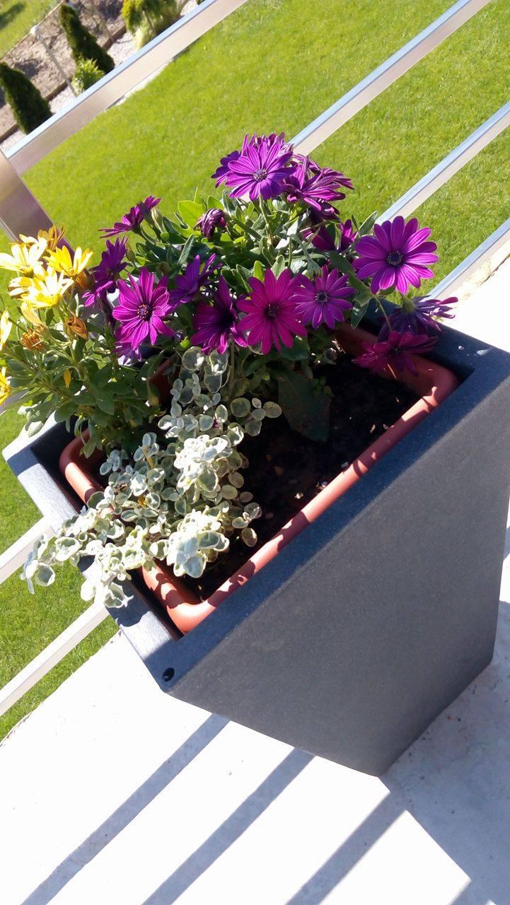 Naša záhrada - osteospermum