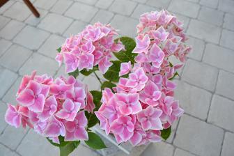 Krasna hortenzia