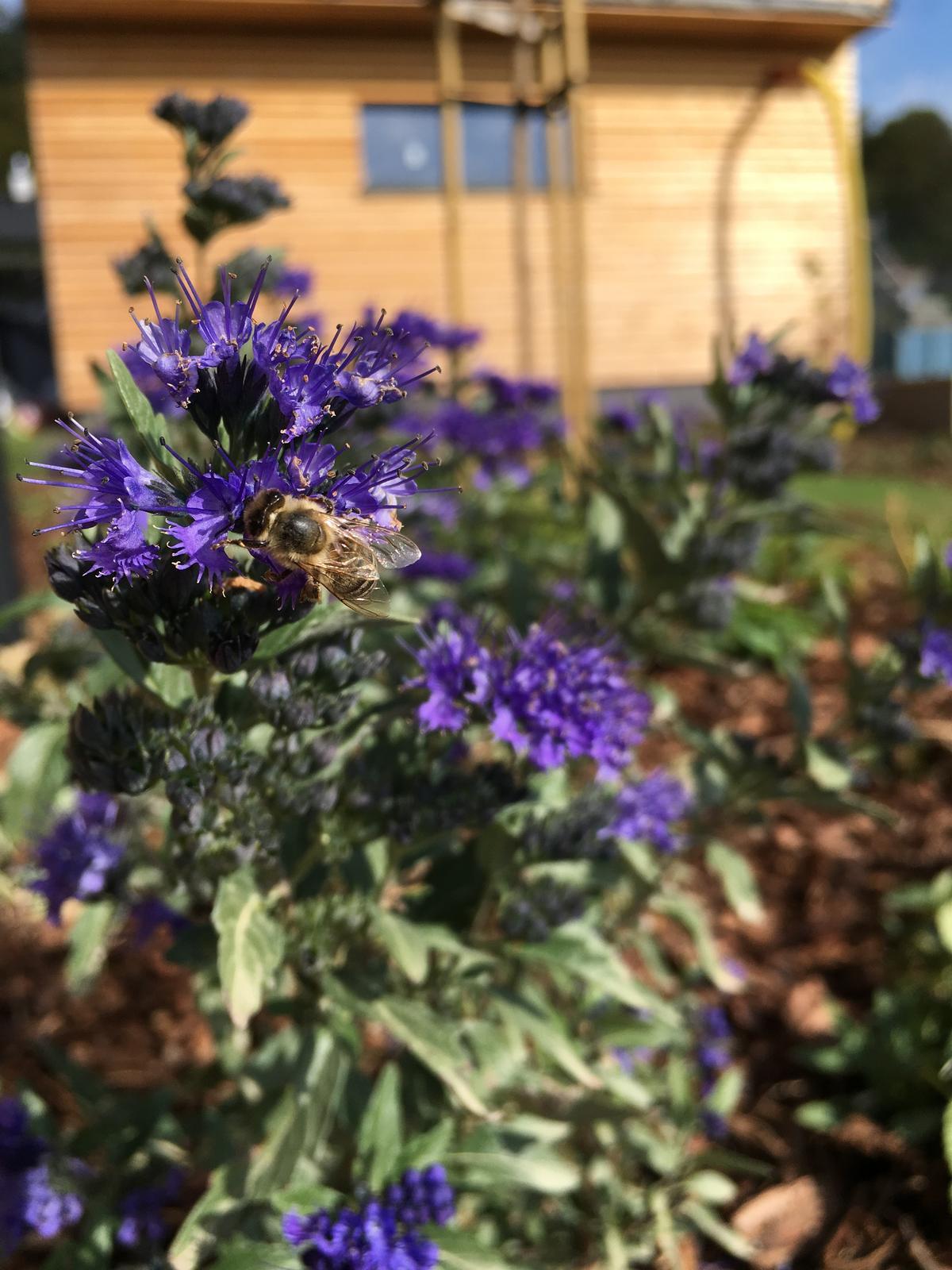 Záhrada v starom sade - Tento bradavec včely úplne milujú