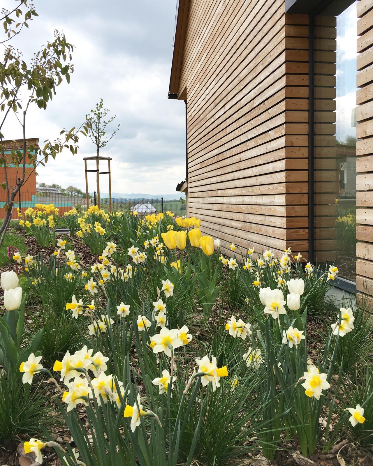 Záhrada v starom sade - Cez okno z chodby pozeráme na biele narcisy, tulipány, muchovník...