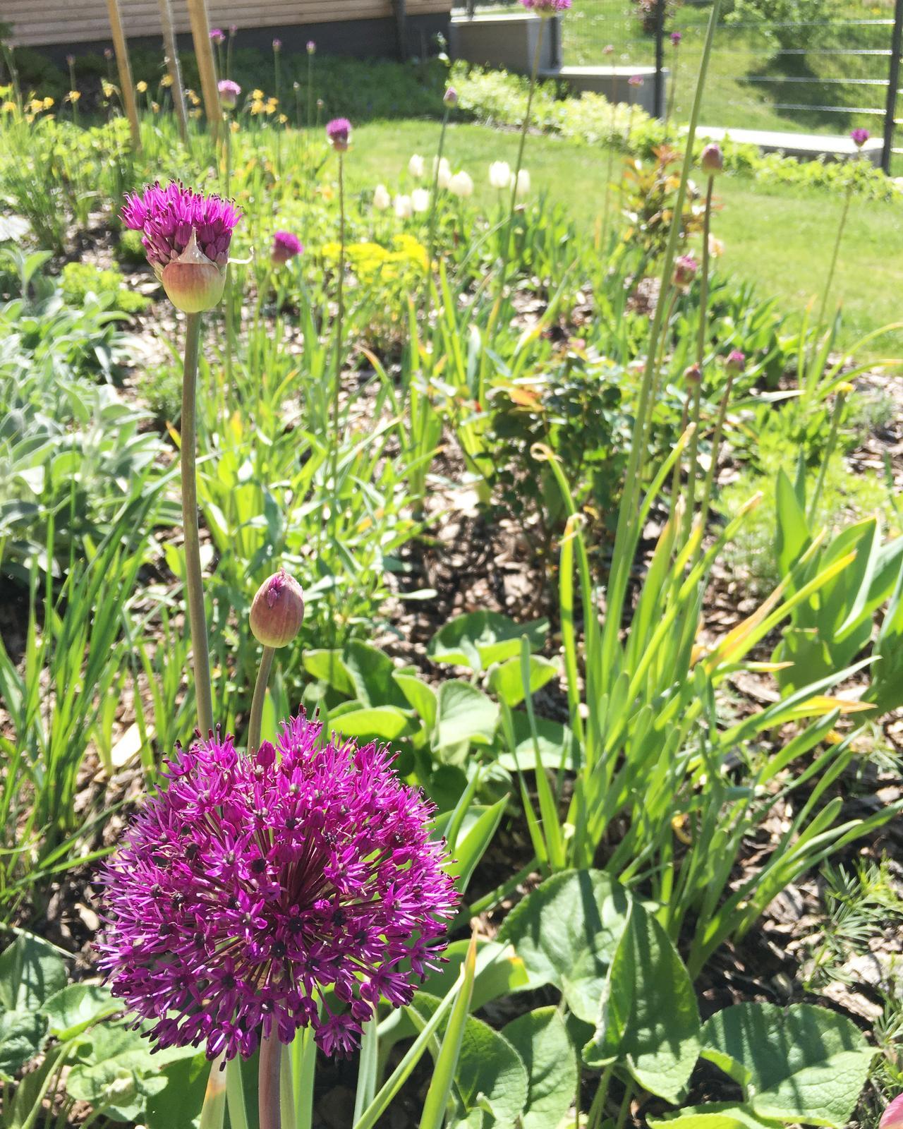 Záhrada v starom sade - Narcisy odkvitajú, otvárajú sa cesnaky :)