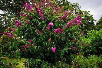 budleja dávidova (nádherná vôňa, priťahuje motýle z celého okolia)