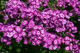 flox metlinatý (kvet môjho detstva)