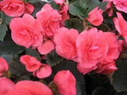 begónia ružová