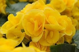 begónia žltá